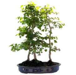Yamaguchi Ficus Bonsai Forest